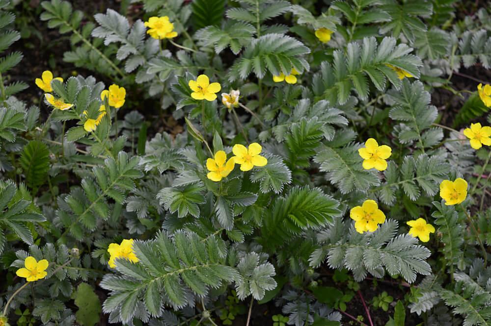 planta diuretica