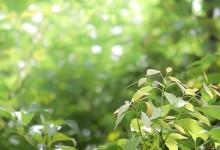 Arborele de camfor