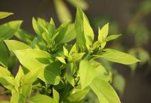 Siropul PLANTUSIN -eficient contra tusei