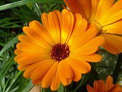 galbenelele pentru tratament antiviral cu plante medicinale