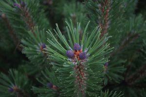 planta medicinala