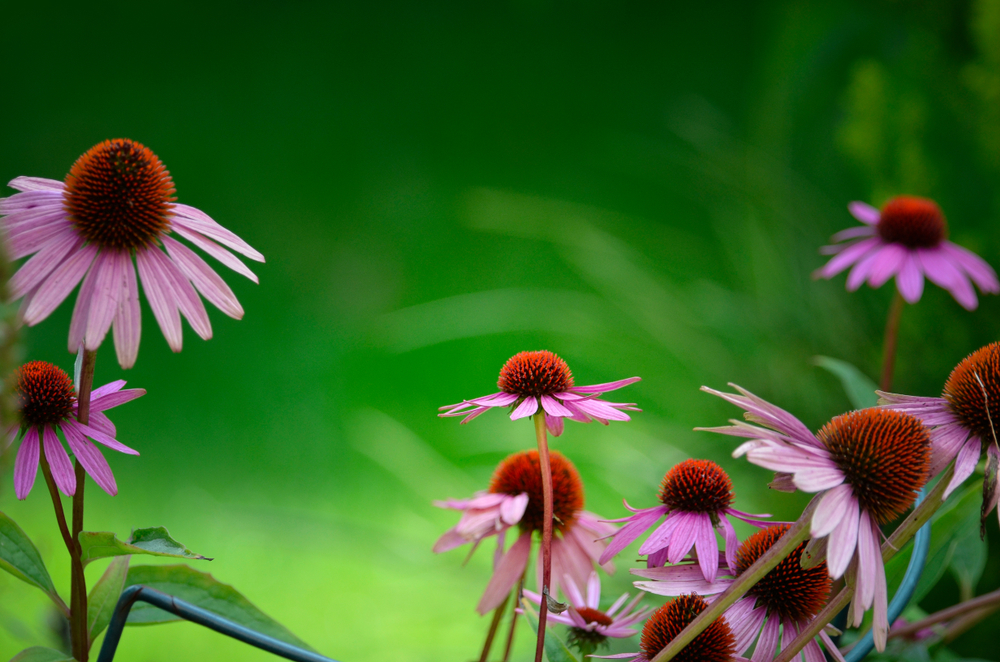 tratament imunitate plante medicinale