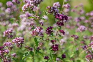 remediu natural pentru infectiile urinare